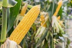 Pannocchia di granturco sul campo di agricoltura Immagini Stock Libere da Diritti
