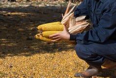 Pannocchie di granturco in mano del ` s dell'agricoltore Fotografie Stock