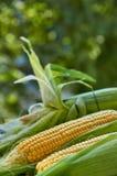 Pannocchie di granturco su una superficie bianca su una fine verde vaga dello sfondo naturale su Foto orizzontale Fotografia Stock Libera da Diritti