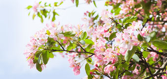 Pano apple blossom in spring. Pano apple blossom with blue sky background in spring Stock Photos