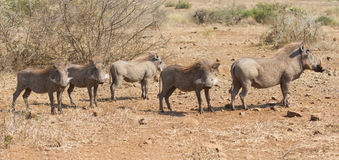 Pano image of warthog family standing in dry bush looking Royalty Free Stock Image