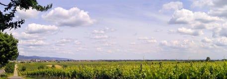 Pano van de wijngaard royalty-vrije stock fotografie