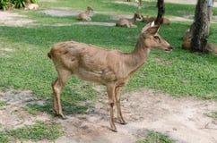 Panolia eldii in safari Stock Image