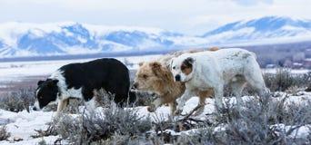Panorámico de tres perros de la montaña Fotografía de archivo