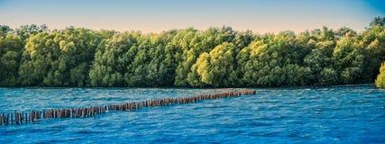 Panorámico hermoso del bosque enorme sano del mangle Fotos de archivo