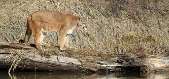 Panorâmico do leão de montanha no log Fotos de Stock