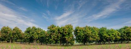 Panora av mangofältet, mangolantgård med bakgrund för blå himmel Agric Royaltyfri Fotografi