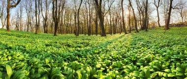 Panoram della foresta della primavera al tramonto con aglio selvaggio - ursinu dell'allium Immagini Stock Libere da Diritti