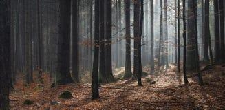 Panorama światło słoneczne w lesie przy jesień Zdjęcie Royalty Free