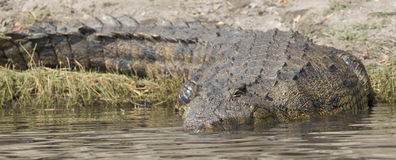 Panorama- afrikansk krokodil Royaltyfria Foton