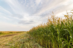 Panorama of agricultural field in summer Sunny day Royalty Free Stock Images