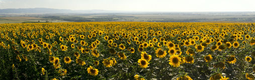 Panorama of agriculture sunflowers meadow. Stock Images