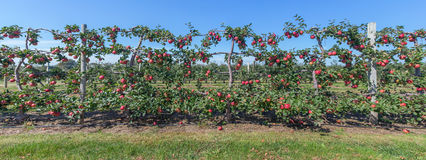 Panorama of apples on the vine, Long Island, NY Royalty Free Stock Images