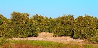 Panorama arancio del boschetto di Florida Immagini Stock Libere da Diritti