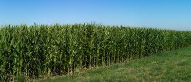 Panorama arquivado milho com céu azul foto de stock royalty free