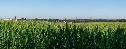 Panorama arquivado milho com céu azul imagens de stock royalty free
