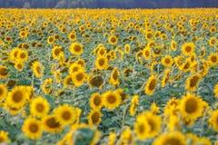 Panorama auf dem Gebiet von blühenden Sonnenblumen am sonnigen Tag stockfoto