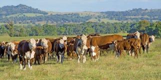 Panorama Australia del ganado de Hereford Foto de archivo libre de regalías