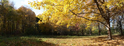 Panorama autumn forest. A landscape of golden leaves in northern woods Stock Image