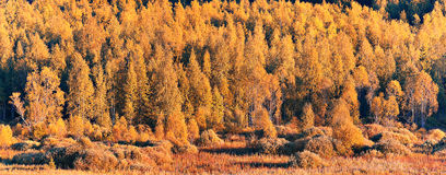 Panorama of autumn forest Royalty Free Stock Image