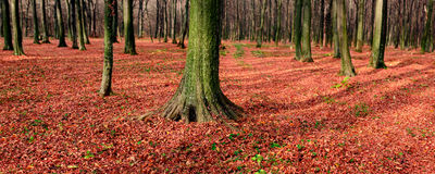 Panorama of autumn forest Stock Images