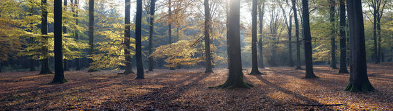 Panorama of autumn leaves and beech trees in the fall Stock Image