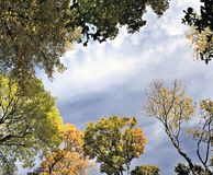 Panorama,  autumn leaves of maple Royalty Free Stock Photography