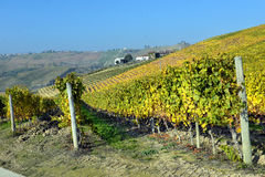 Panorama of autumn vineyards in Italy Stock Image