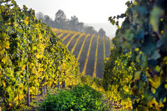 Panorama of autumn vineyards in Italy Royalty Free Stock Images