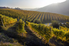 Panorama of autumn vineyards in Italy Stock Images