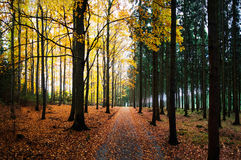 Panorama of autumn way in forest Royalty Free Stock Photos