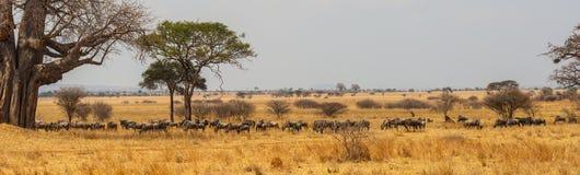 Panorama av att beta för wildebeastflock royaltyfri foto