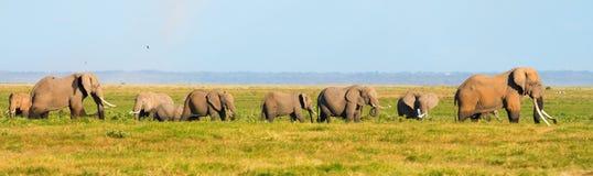 Panorama av elefanter Arkivbild