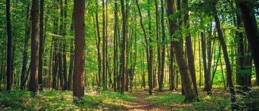 Panorama av en grön sommarskog Royaltyfri Fotografi