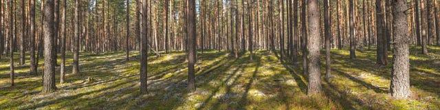 Panorama av en pinjeskog Arkivfoto