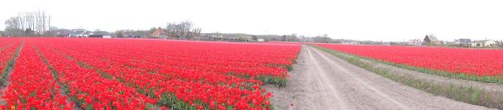 Panorama av ett rött tulpanfält i Nederländerna Royaltyfria Foton