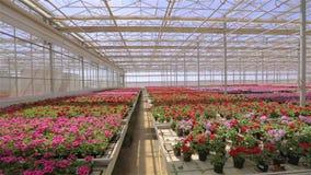 Panorama av ett stort modernt v?xthus Stort ljust v?xthus med ett genomskinligt tak och blommablommor lager videofilmer