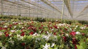 Panorama av ett stort modernt v?xthus Stort ljust v?xthus med ett genomskinligt tak och blommablommor stock video