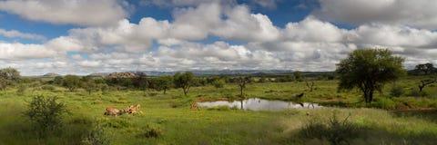 Panorama av ett vattenhål i den Namibia savannet Royaltyfri Foto