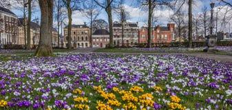 Panorama av färgrika krokusar på Ossenmarkten i Groningen Fotografering för Bildbyråer
