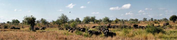 Panorama av flocken av den afrikanska buffeln i afrikanskt landskap royaltyfri fotografi