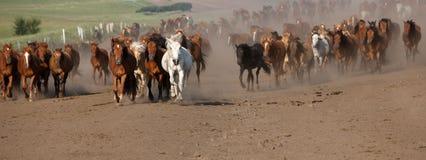 Panorama av hästar som galopperar över smutsen Royaltyfri Bild