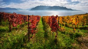 Panorama av höstvingårdar i Schweiz arkivfoto
