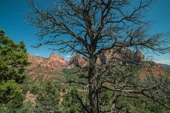 Panorama av Kolobs kanjoner med träd i förgrunden i Zion National Park, Utah på en klar dag Royaltyfria Foton