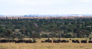 Panorama av savann Stora flockar av Afrika Landskap med buffeln Royaltyfri Fotografi