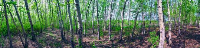 Panorama av skogen arkivfoton
