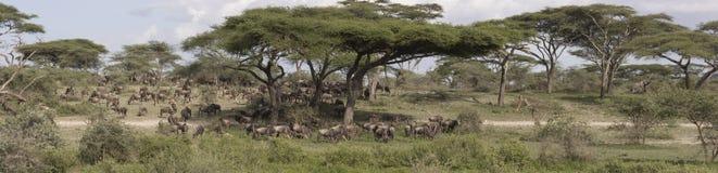 Panorama av stor gnuflyttning, Serengeti royaltyfri foto