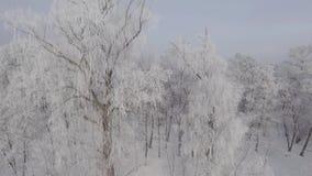 Panorama av träd som täckas med frost av över vinterskogen stock video