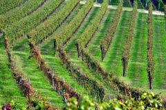 Panorama av vingårdar Arkivfoto