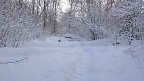 Panorama av vinterskogen och hunden stock video
